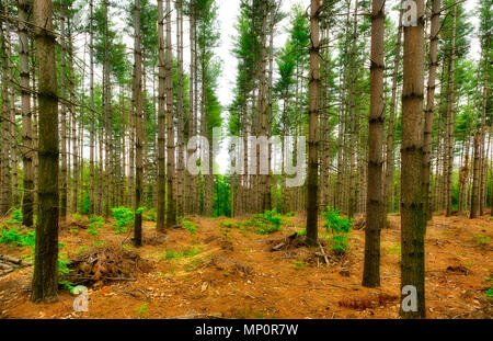 rows of trees in the woods with gray sky background - Stock Image