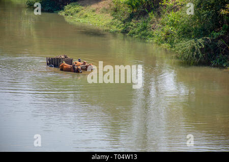 Two Zebu humped cattle pull wooden wheeled cart through a deep river crossing. - Stock Image