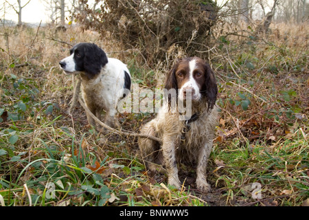 Two gun dogs waiting for their master. - Stock Image