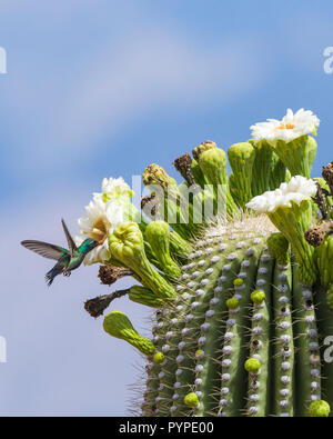 A Broad-billed Hummingbird (Cynanthus latirostris) feeding on nectar from the flowers of the Saguaro (Carnegiea gigantea). Tucson - Stock Image