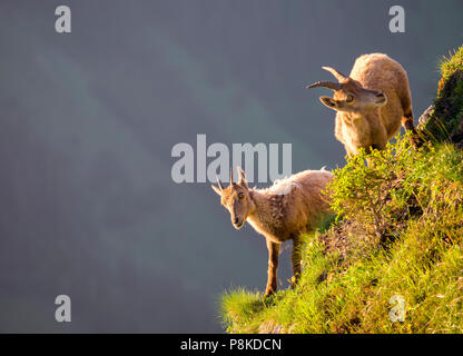Ibexes at Niederhorn - Stock Image
