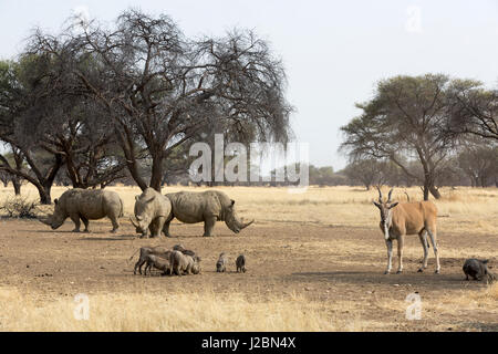 Africa, Namibia, Windhoek, Okapuka Ranch. Group of rhinoceros, eland and warthogs. Credit as: Wendy Kaveney / Jaynes - Stock Image