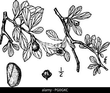 . North American trees : being descriptions and illustrations of the trees growing independently of cultivation in North America, north of Mexico and the West Indies . Trees. 456 The Thorn Trees the lobes slightly haiiy on the inner surface, lanceolate, long-pointed, glandular- toothed; stamens lo to 20; anthers pink; styles 3 to 5. The fruit is pear-shaped or oblong, about 10 mm. thick, yellow or yellow-green, sometimes tinged with red; the calyx-lobes are reflexed; the flesh is firm; it contains 3 to 5 nutlets, com- monly 4, about 7 mm. long, strongly ridged on the back, the nest about 8 mm. - Stock Image