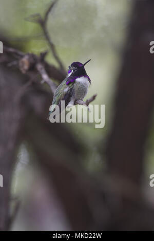 Lovely hummingbird perched on thin twig in Arizona.  Tucson, in close proximity to Mexico, gets a greater diversity of tiny hummingbirds than any othe - Stock Image
