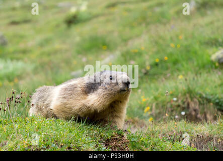 Careful marmot - Stock Image
