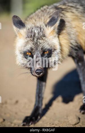 Vulpes vulpes - Fox, Alberta, Canada - Stock Image