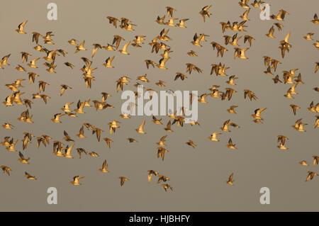 Flock of Euroopean golden plover (Pluvialis apricaria) in winter plumage, in flight. Norfolk. November. - Stock Image