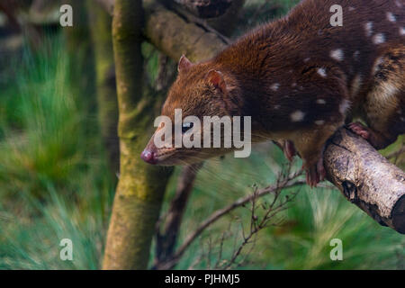 A captive spotted tail quoll, Cradle Mountain, Australia - Stock Image