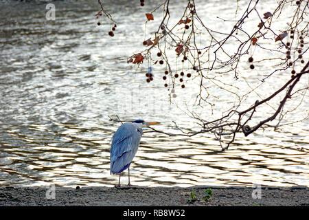 Grey Heron (Ardea cinerea) in St James's Park, London, UK - Stock Image