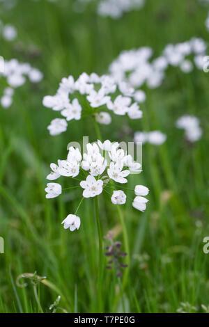Allium neapolitanum flowers. - Stock Image