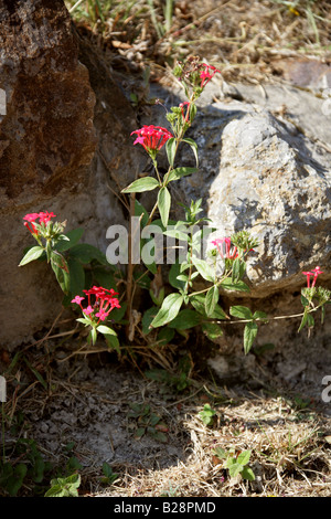 Red Flower Growing in the Ruins of Monte Alban, Oaxaca, Mexico - Stock Image