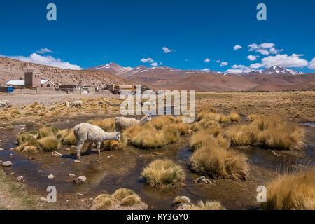 Argentina, Salta province, Puna desert, road 129 betwen San Antonio de Los Cobres and Tolar Grande, Santa Rosa de los Pastos Grandes, llamas - Stock Image