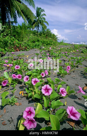 Beach Morning Glory flowers (Ipomoea pes-caprae). Early morning in Tortuguero National Park, Caribbean coast, Costa - Stock Image