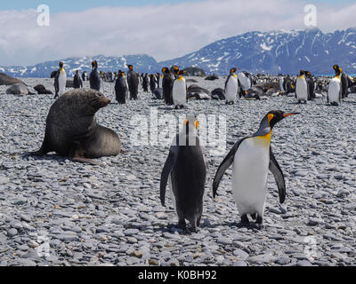 Two king penguins and a large fur seal in the foreground. Large colony of king penguins and seals mixing together on South Georgia Island. - Stock Image