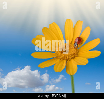 ladybug on a yellow flower with blue sky clouds and sun rays - Stock Image