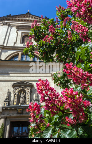 Aesculus carnea, Red Horse chestnut in front of Church Our Lady Victory ( Infant Jesus) in Karmelitska street, Mala - Stock Image