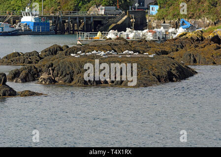 View Towards Glengarriff Pier with Gulls and Harbour Business - Stock Image