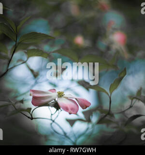 One Pink Dogwood Tree Blossoms, Shallow Depth of Field - Stock Image