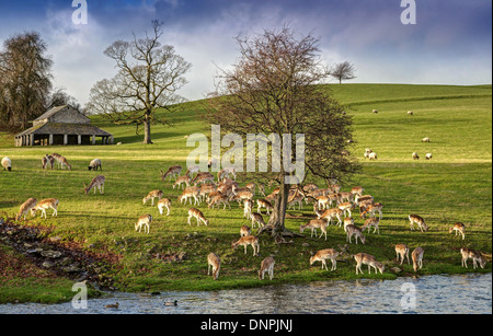 Dallam Park deer herd - Stock Image