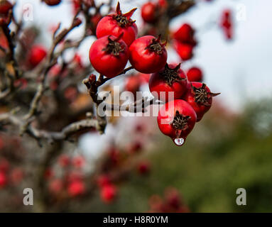 Hawthorn berries in the autumn. One berry has a raindrop. - Stock Image