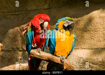 blue and red amazon macaws San Antonio Zoo Texas tx exotic birds outdoors popular tourist attraction - Stock Image