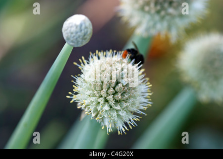 Selective focus image of a blooming Onion (Allium cepa) with a bumblebee. - Stock Image