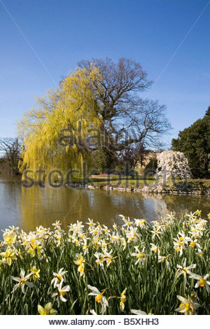 DAFFODILS NARCISSUS SPETCHLEY PARK WORCESTERSHIRE - Stock Image