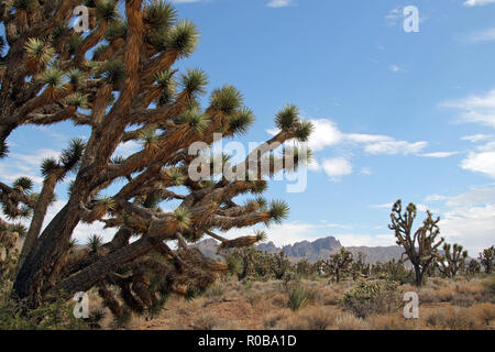 Joshua Trees in Dolan Springs, Arizona, USA - Stock Image