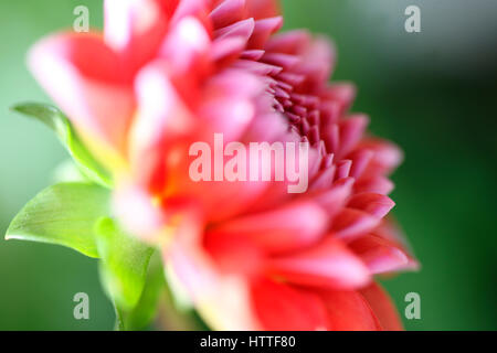 profile opening red dahlia, sun-kissed in summer...floral language symbolises dignity and gratitude Jane Ann Butler - Stock Image