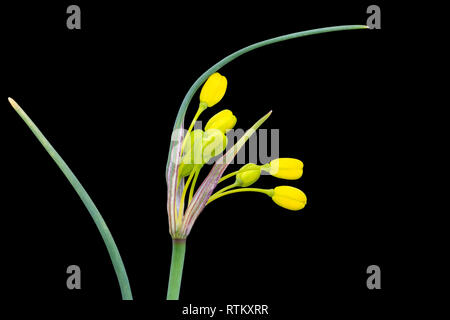Yellow-flowered garlic, Allium flavum, var. minus, a dwarf allium from the Mediterranean region, suitable for rockeries or scree beds. - Stock Image