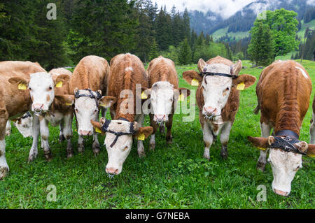 Young Simmentaler Fleckvieh cattle (Bos taurus) with wooden horn guides for nice horn growth and nose rings to stop - Stock Image