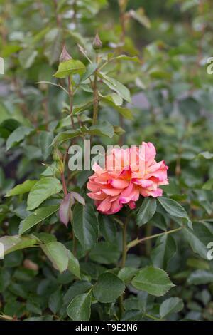 Pumpkin Patch floribunda rose at the Owen Rose Garden in Eugene, Oregon, USA. - Stock Image