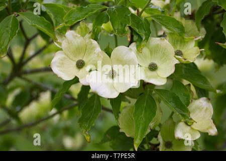 Cornus kousa 'Radiant Rose' flowers. - Stock Image