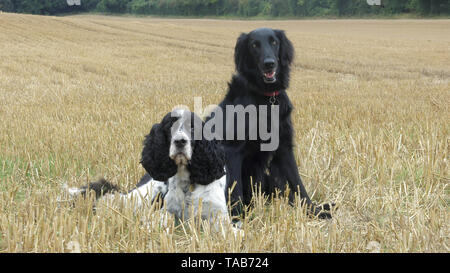 springer spaniel, 10 year old male & flat coated retriever, 7 year old female, in field - Stock Image