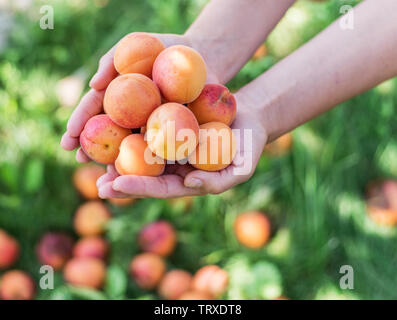 Ripe yellow apricots in female hands on a summer day in nature. - Stock Image