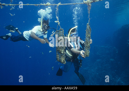 Pearl Divers farming black pearls with one diver sharing the others octopus - Stock Image