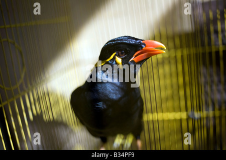 A hill myna in a cage at home in Mansalay, Oriental Mindoro, Philippines. - Stock Image