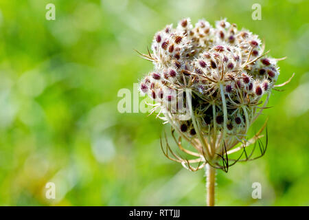 Wild Carrot (daucus carota), close up of a backlit tightly bound seedhead showing detail of the spiny seed pods. - Stock Image