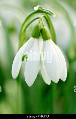 Snowdrops (galanthus nivalis), close up of two entwined flowers with low depth of field. - Stock Image