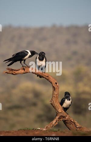 Pied crows (Corvus albus), Zimanga private game reserve, KwaZulu-Natal, South Africa, September 2018 - Stock Image