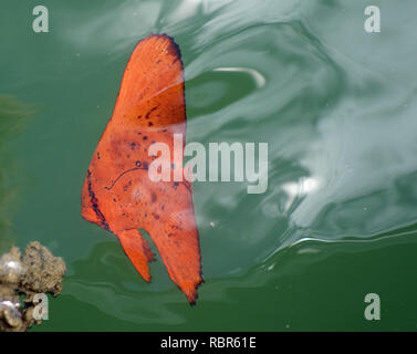 Juvenile round batfish (Platax orbicularis) mimicking orange mangrove leaf, Yorkey's Knob marina, Cairns, Queensland, Australia - Stock Image