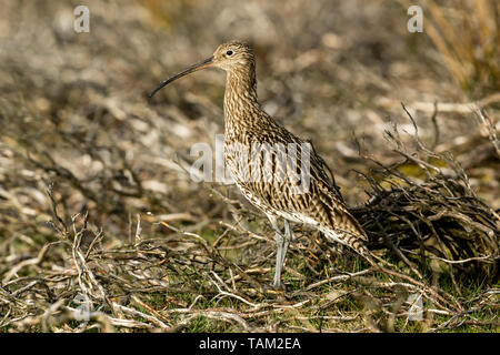 Curlew (Scientific name: Numenius arquata) Adult curlew in the Yorkshire Dales, UK during Springtime and the nesting season. Landscape, space for copy - Stock Image
