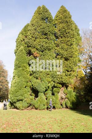 Lawson cypress tree, Chamaecyparis Lawsoniana, National arboretum, Westonbirt arboretum, Gloucestershire, England, UK - 'Pottenii' - Stock Image