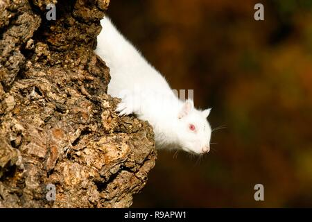 Eastbourne, East Sussex, UK. 22nd Dec 2018.UK weather. This pair of albino Grey squirrels will certainly enjoy a white Christmas thanks to their bright white fur.  The squirrels were spotted in an Eastbourne park where they readily intermingle with regular grey squirrels. Eastbourne, East Sussex, UK. Credit: Ed Brown/Alamy Live News - Stock Image