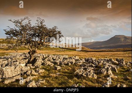 Lone Tree on Twistleton Scar - Stock Image
