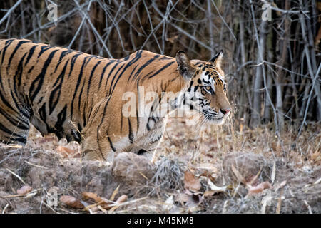Side view of adult female wild Bengal Tiger, Panthera tigris tigris, with teats full of milk, Bandhavgarh Tiger - Stock Image