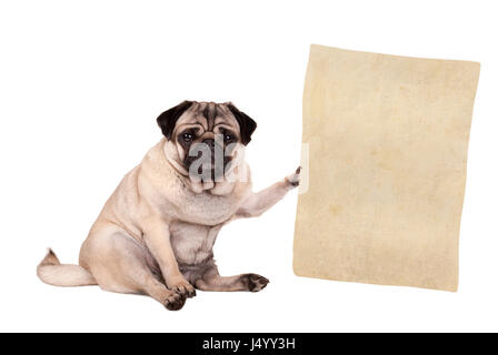 lovely cute pug puppy dog sitting down, holding paper scroll, isolated on white background - Stock Image