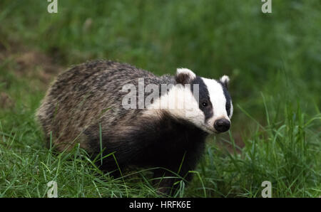 European Badger (Meles meles) in British woodland - Stock Image