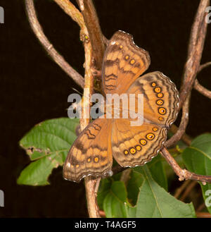 Brown Soldier Butterfly or Chocolate Argus or Chocolate Pansy (Junonia hedonia) on foliage, Cairns, Far North Queensland, FNQ, QLD, Australia - Stock Image