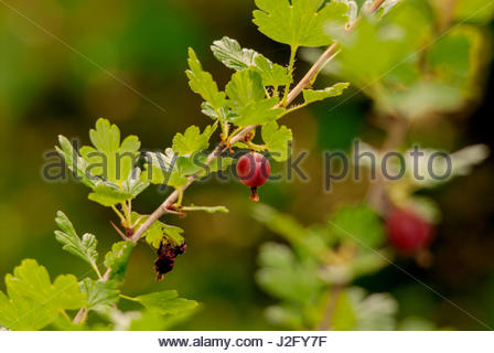 Red gooseberry on bush. - Stock Image
